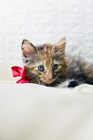 Kitten wearing bow on bed