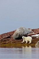 Polar bear Ursus maritimus on the coast, Woodfjorden, Spitsbergen, Svalbard Islands, Norway