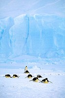 antarctica, riiser_larsen ice shelf, emperor penguins tobogganing, iceberg background