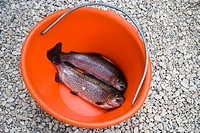 Rainbow Trout in Bucket