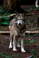 Gray wolf Canis lupus in a forest