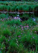 High angle view of Blue Flag Irises near a pond, Snag Pond, Pennsylvania, USA Iris versicolor