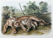 The Cougar: Female & Young John James Audubon 1785_1851 American
