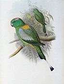 Racket_tailed Parrot John Gould 1804_1881 British