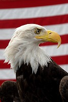 A bald eagle and the american flag. Haliaeetus leucocephalus