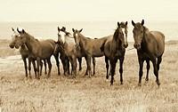 Wild Horses on the Beach. Crimea. Ukraine