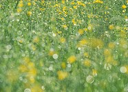 Germany, View of yellow flowers field