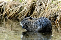 South American Nutria, Coypu, Myocastor coypus, Hesse, Germany, Europe