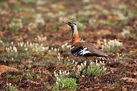 Denham´s Bustard or Stanley´s Bustard, Neotis denhami, Nyika Plateau, Malawi, Africa