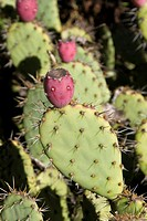 Salmon Flowered Prickly Pear Opuntia Littoralis Var  Vaseyi Cactacae  The pink buds with flat tops look like they have faces on them  California USA