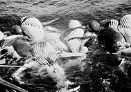 WHALING, c1935.Dead humpback whales, inflated with compressed air, tied to the deck of a factory ship befoe stripping their blubber. Photographed c193...