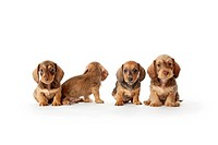 Four wire-haired dachshund puppies on white background