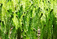 Green leaves of wild young fern in spring for background
