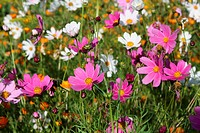 Pink and white cosmos flowers in a garden