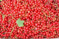 Background of red currant with green leaf. Close_up