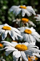 Close_up of large white ox_eye daisies Leucanthemum vulgare. Shallow DOF