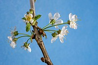 Wild cherry / Sweet cherry Prunus avium buds bursting, and flowers emerging in spring, Belgium