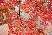 Japanese maple tree with red and orange autumnal leaves