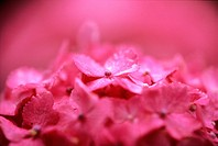 Close_up of pink hydrangea flowers