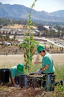LA Conservation Corps plant a tree at a Tree planting to reforest Stetson Ranch Park in Sylmar after the 2008 devastating wildfire. .