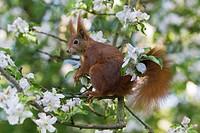 European Red Squirrel Sciurus vulgaris, sitting in flowering apple tree, Lower Saxony, Germany