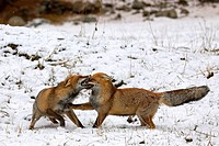 Two Red foxes Vulpes vulpes fighting in the snow in winter, Italy
