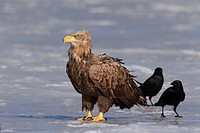White_tailed Eagle / Sea Eagle / Erne Haliaeetus albicilla and Carrion Crows Corvus corone on frozen lake in winter, Germany