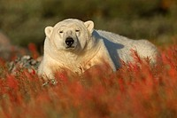 Portrait of polar bear lying in field, Churchill, Manitoba, Canada