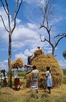 WHEAT HARVEST, SRI LANKA. Vicinity Hambantota. .
