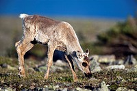 Two_month_old calf standing on alpine tundra, Mount Jacques Cartier, Gaspesie National Park, Quebec, Canada