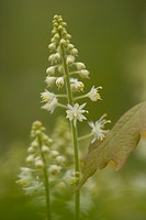 Close_up of foamflower, Ontario, Canada