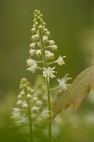 Close_up of foamflower, Ontario, Canada