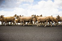 Flock of sheep crossing the road, Waitomo, North Island, New Zealand