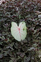 Leaf from banyan tree on ground, Florida, USA