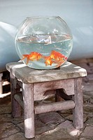 Close_up of goldfish in a fishbowl