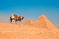 Camels Waiting Pyramids Cheops Khafre Khufu