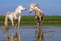 France, Bouches du Rhone, Natural Regional Park of Camargue , Saintes Maries de la Mer, Camargue horse.
