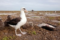 Laysan Albatross (Phoebastria immutabilis), dead one after tsunami (March 11th 2011), Eastern Island, Midway Atoll National Wildlife Refuge, Hawaii, U...