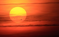Gull crossing in front of the sun at sunrise
