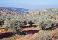 Olive groves. La Jara, Toledo province, Castilla La Mancha, Spain.