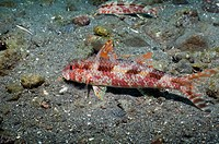 Freckled goatfish Upeneus tragula feeding on sandy bottom  Rinca, Komodo National Park, Indonesia