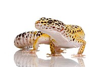 Leopard gecko _ Eublepharis macularius