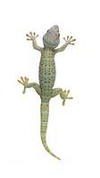 Tokay gecko _ Gekko gecko