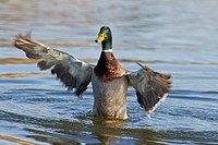 Mallard Duck Anas platyrhynchos adult male, flapping wings on water, Norfolk, England, february