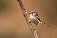 Long_tailed Tit Aegithalos caudatus adult, perched on branch, Norfolk, England, february