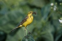 Yellow Wagtail Motacilla flava adult male, with insects in beak, collecting food for chicks, perched on cabbage leaf in field, Lincolnshire, England, ...