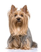 Yorkshire Terrier 5 years