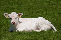 Domestic Cattle, Charolais, calf, resting on grass, England, may