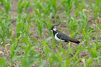 Northern Lapwing in cornfield, Vanellus vanellus, Hessen, Germany, Europe