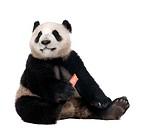 Giant Panda 18 months _ Ailuropoda melanoleuca